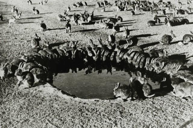 Photo of Historijat kako su 24 zeca postala najveće štetočine u Australiji u 20. stoljeću